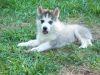 Siberian Husky, 9 weeks, Gray & White